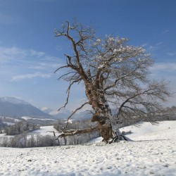 Le chêne remarquable de Casamayou - Lys · © stockli